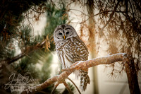 Barred Owl - Boise, Idaho