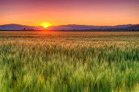 Sunset over Wheat Field near Weiser, Idaho
