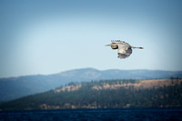 Great Blue Heron flying over Lake Coeur d'Alene