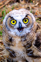 Close up of a Juvenille Great Horned Owl at Market Lake Management Area